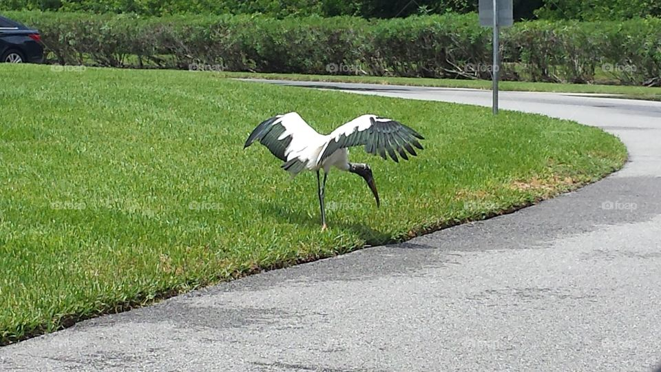These wood storks live wild around a local lake