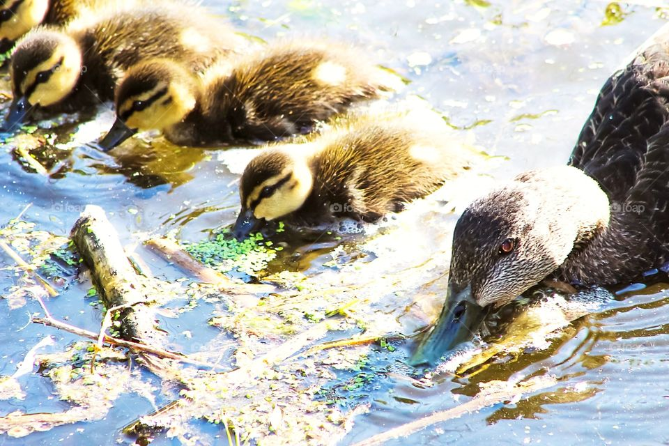 Cute baby Mallards out learning how to find food with their Mom. They found all kinds of leaves and other tree debris to munch on, they were happy Mallards.
