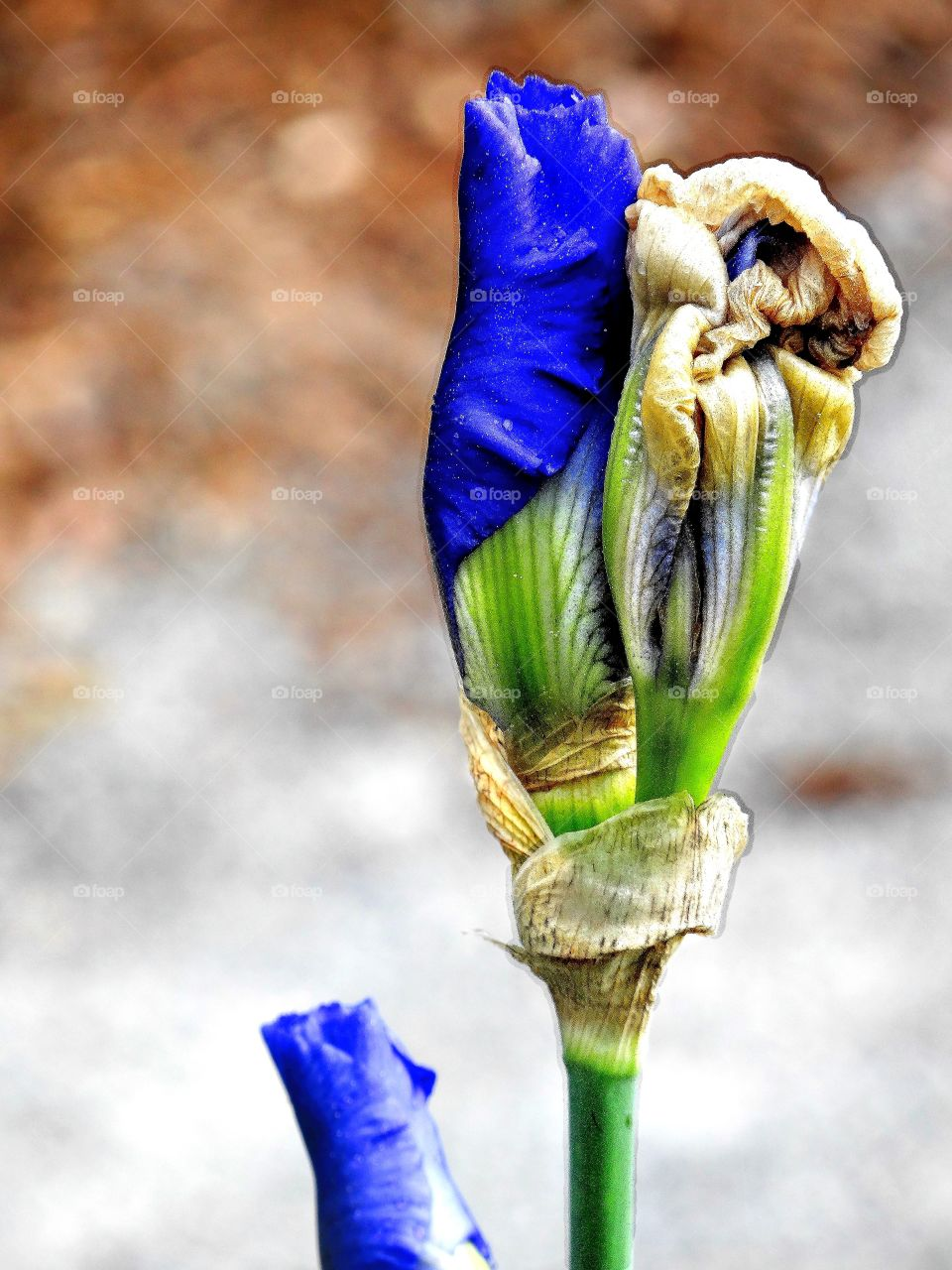 blue iris unfurls. Several blue iris buds in various degrees of unfurling their leaves and letting their glorious blue color into the world for all to enjoy!
