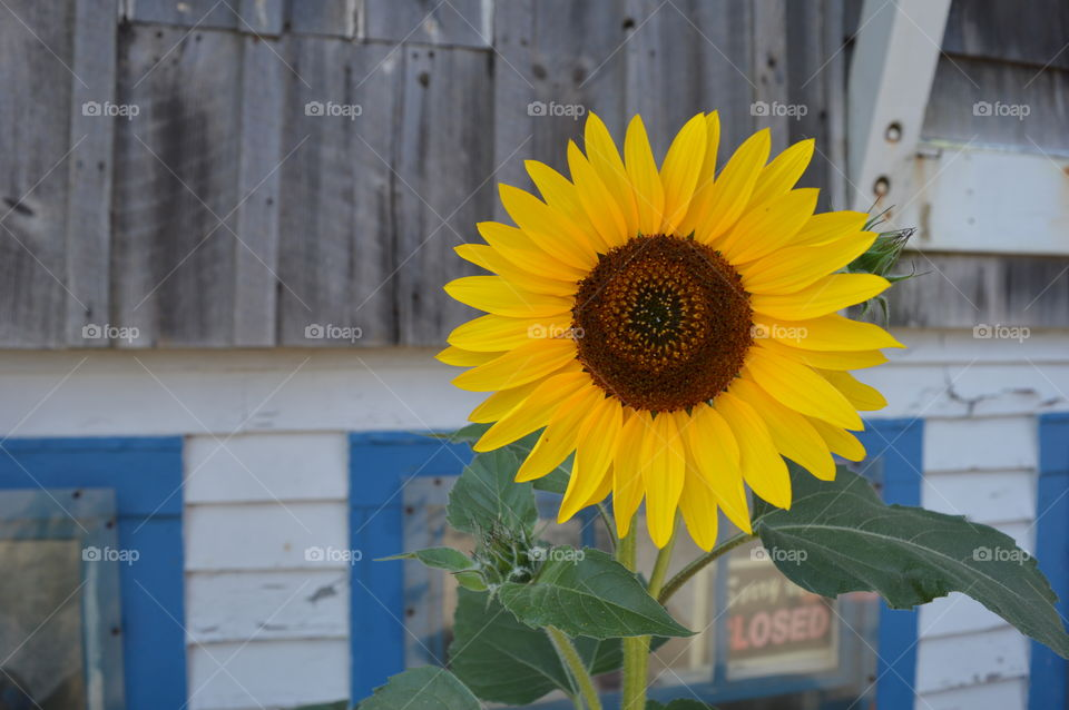 Sunflowers and old houses