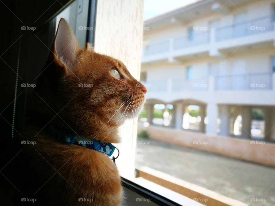 Ginger cat sitting and looking through the window.