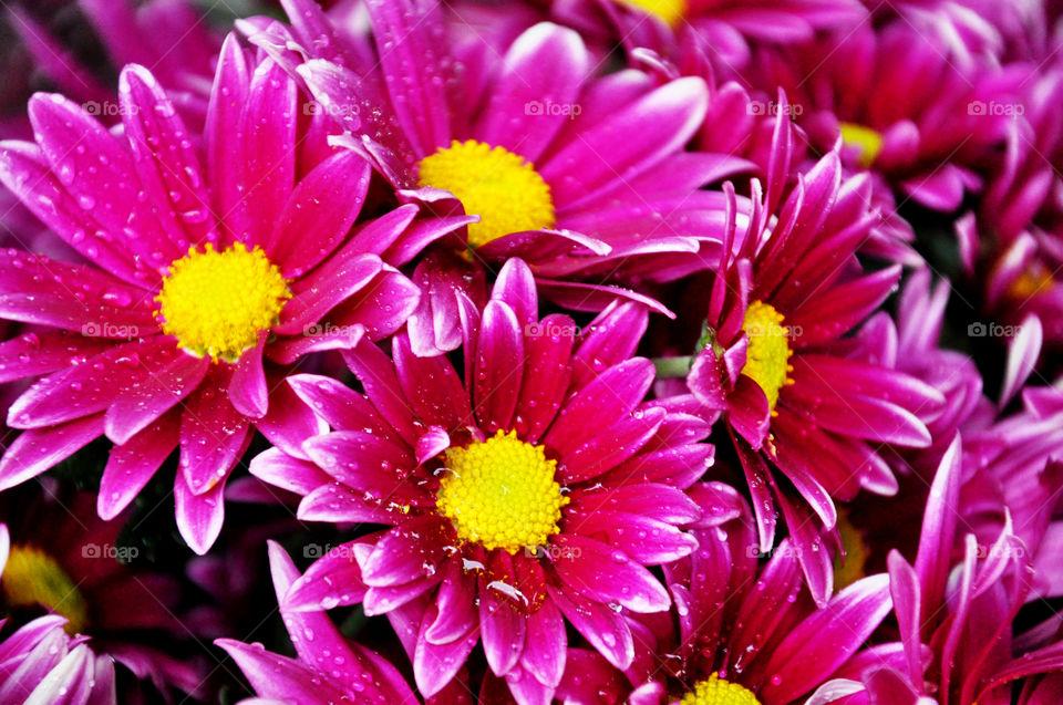 Water drop on pink flowers