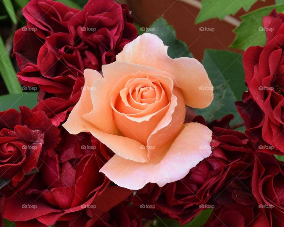 Beautiful peach &red roses enjoy the little  things in life