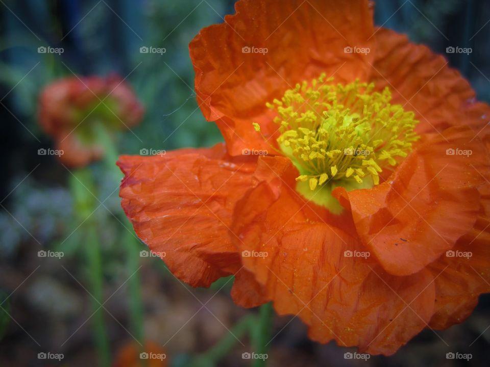 pop of color poppy