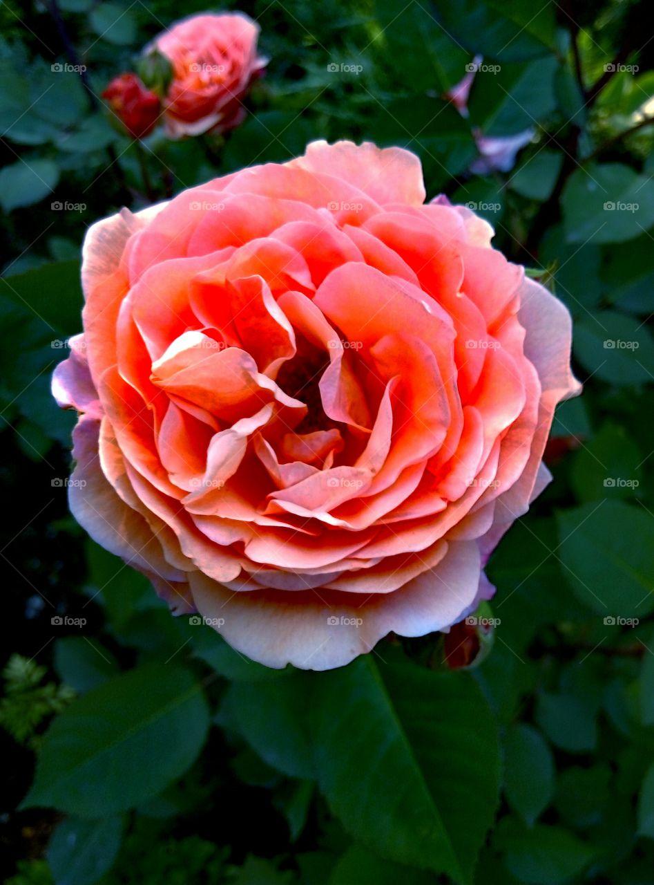 Close-up of a orange rose