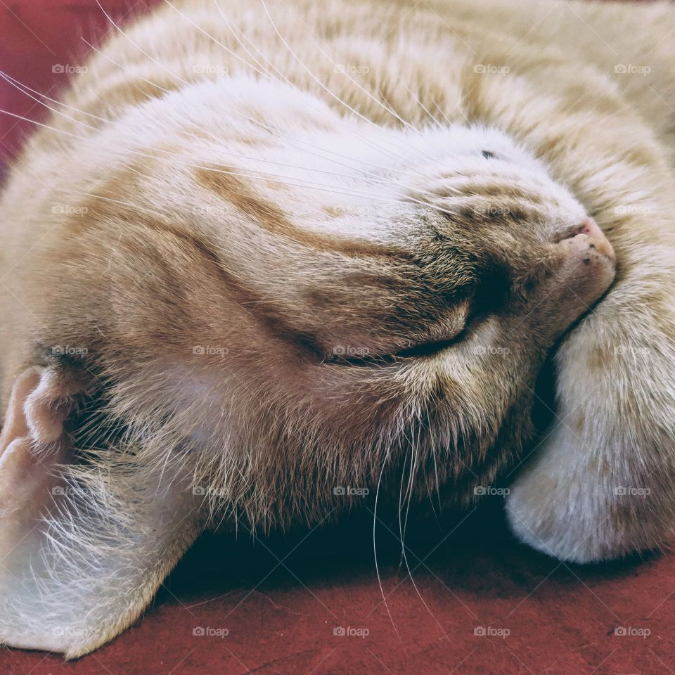 Orange tabby cat, sleeping