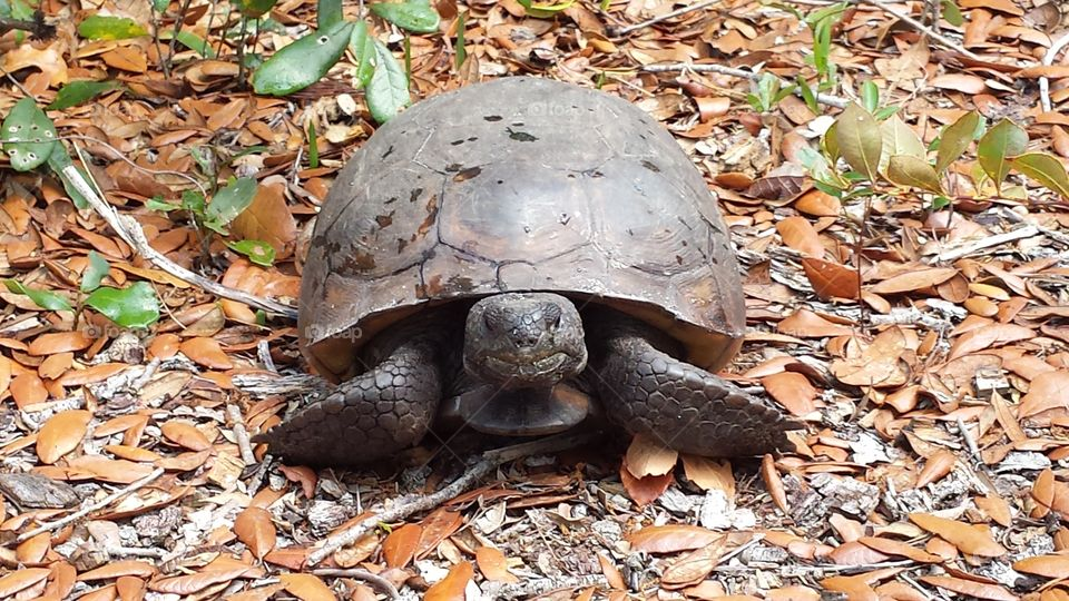 I encountered this friendly gopher tortoise  on the trail while on a hike in Palm Bay, Florida