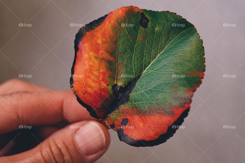 Hand Holding Leaf, Multicolored Leaf From Tree, Simple Beauty, Natural Beauty, Colors Of Nature, Fall Leaves Change Color