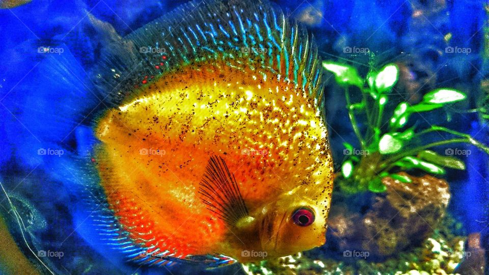 gold fish . tropical fish
