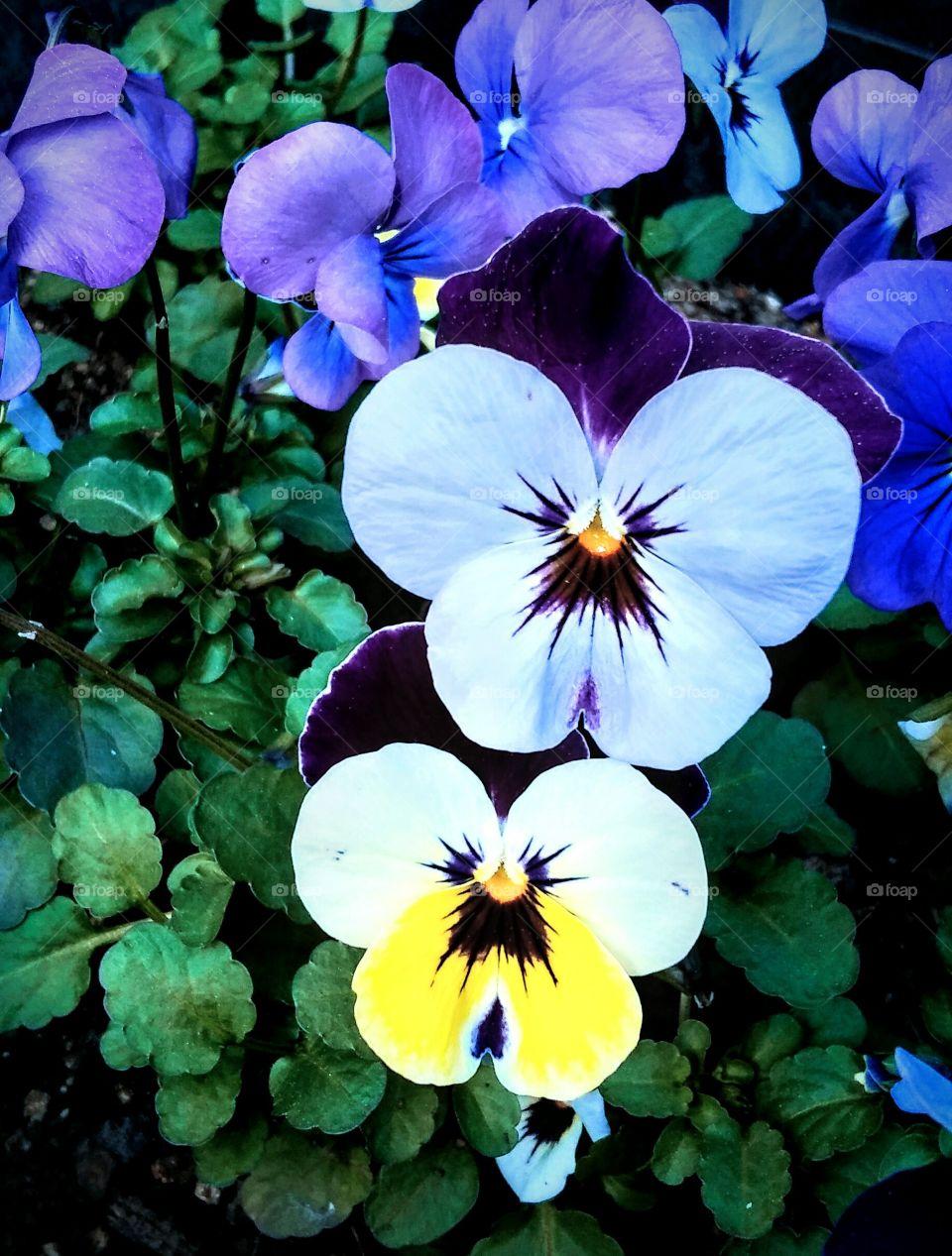 Bright Violas