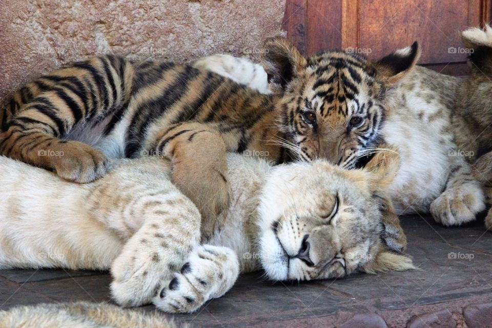 Tiger cub and lion cub lying down