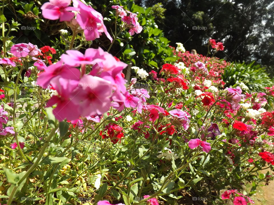 Phlox paniculata, commonly called autumn phlox or garden phlox in shades of pink and red.