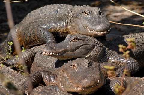 A pile of alligators. Stack those gators!