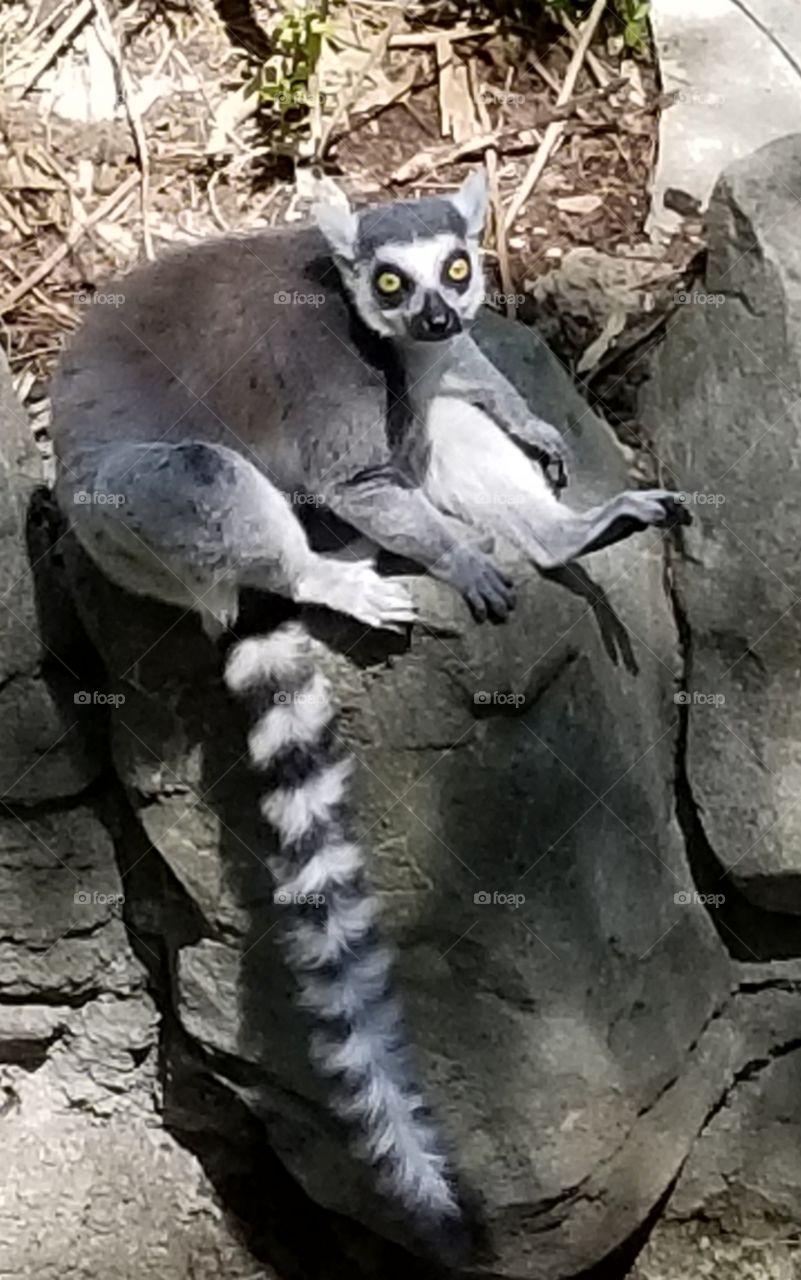Lemur at the Cincinnati Zoo