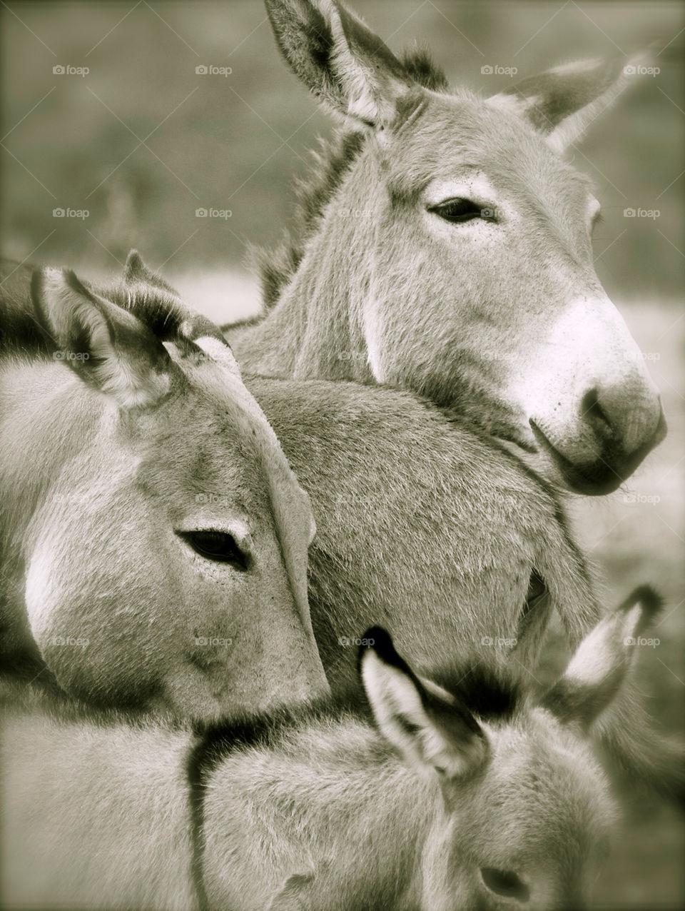 Fam. Donkey