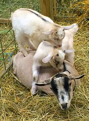 Goat Tower. Two baby goats standing on their mother's back.