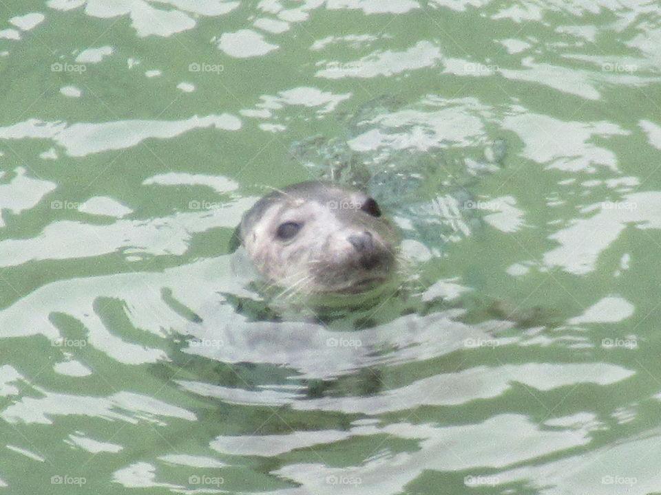 seal swimming in the Irish sea. Taken at carrickabridge. county antrim.
