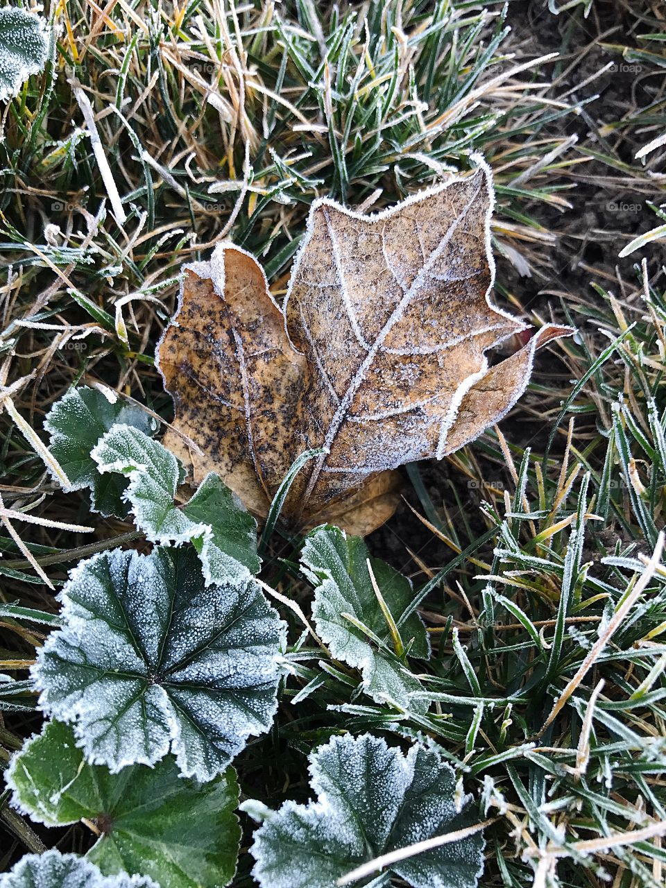 A dried maple leaf in the grass of a lawn frosted and iced over in the winter.