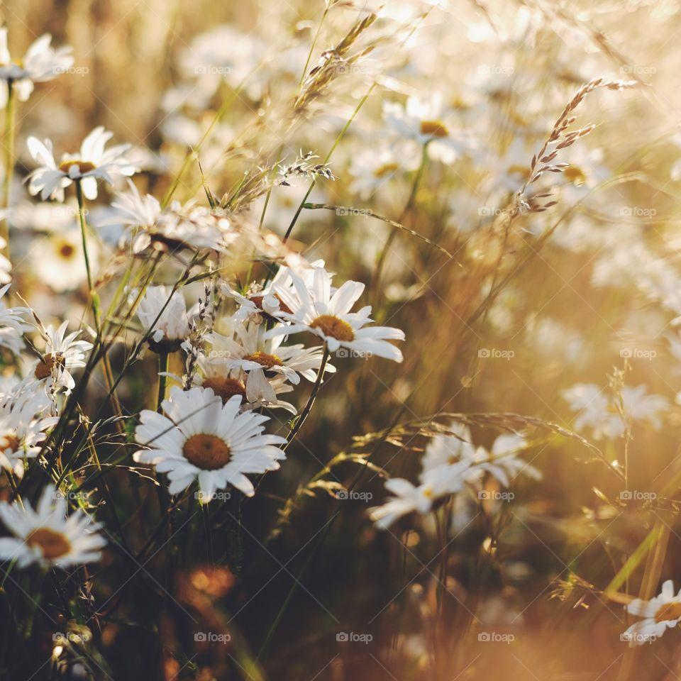 Flower, Field, Nature, Summer, Flora