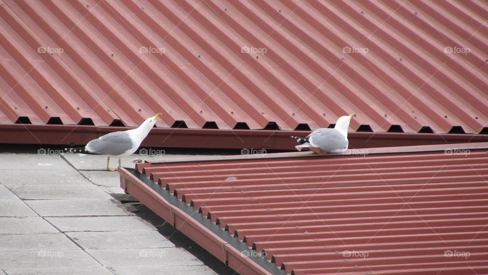 The Seagulls on the Roof