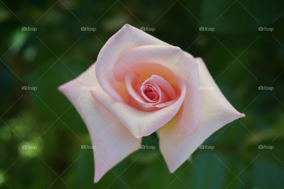 Pink rose in out garden