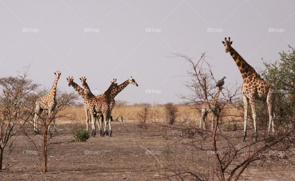 A group of giraffes pauses to look at us while grazing