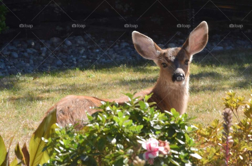 fawn came to visit my backyard behind the bush September 2018
