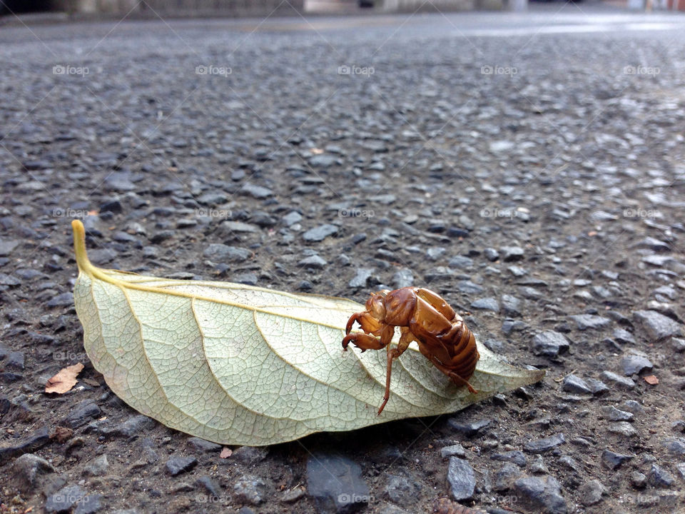 Cicada shell clinging to leaf. Street photography