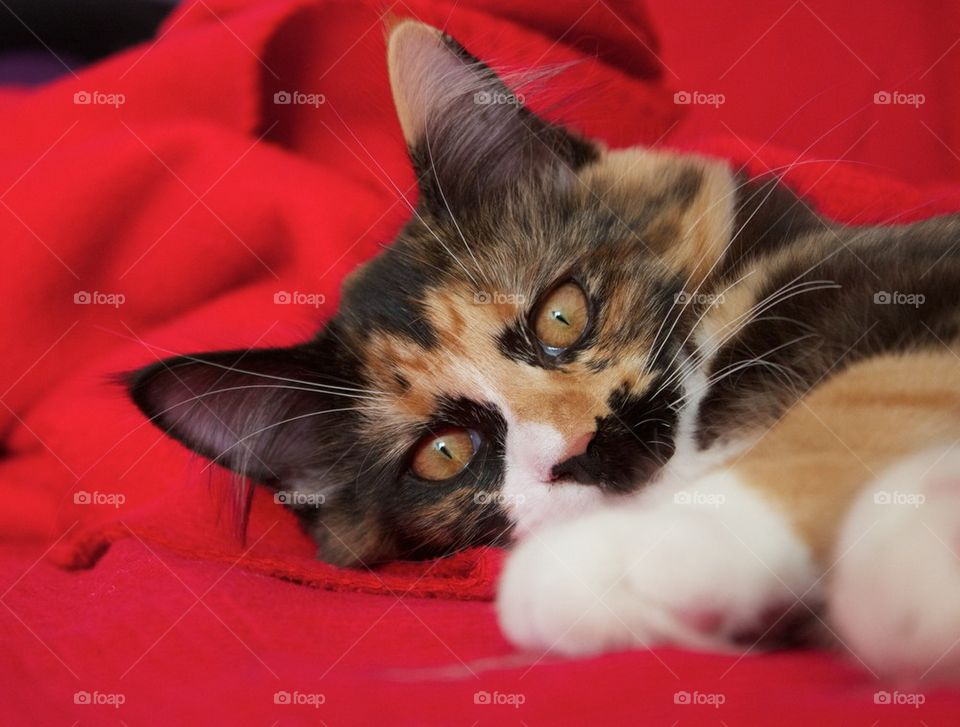Cat on a red blanket