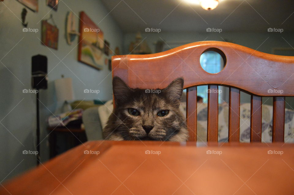 Grey Fluffy Cat Peering Over Edge Of Dinner Table Into the Camera