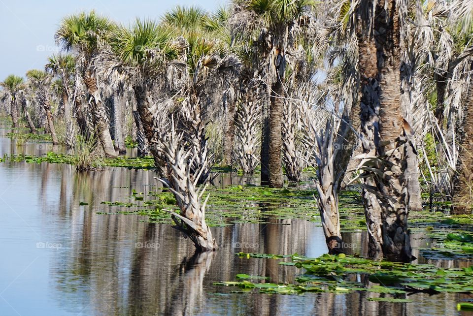 Palm trees growing in the water with lily pads in the middle of a swamp on a hot summer Florida day.