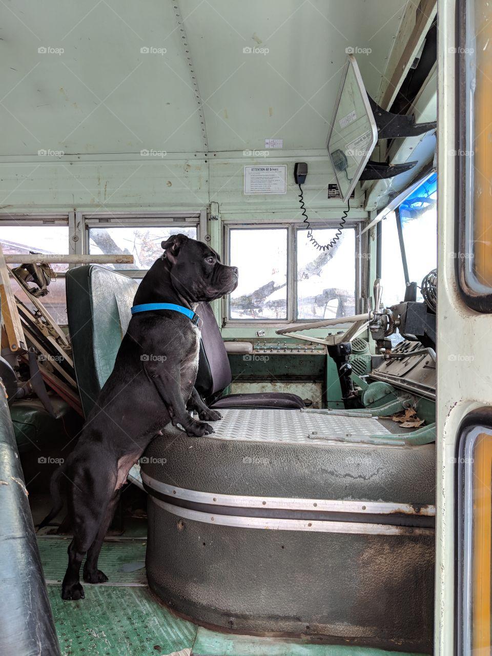 American Bulldog on guard