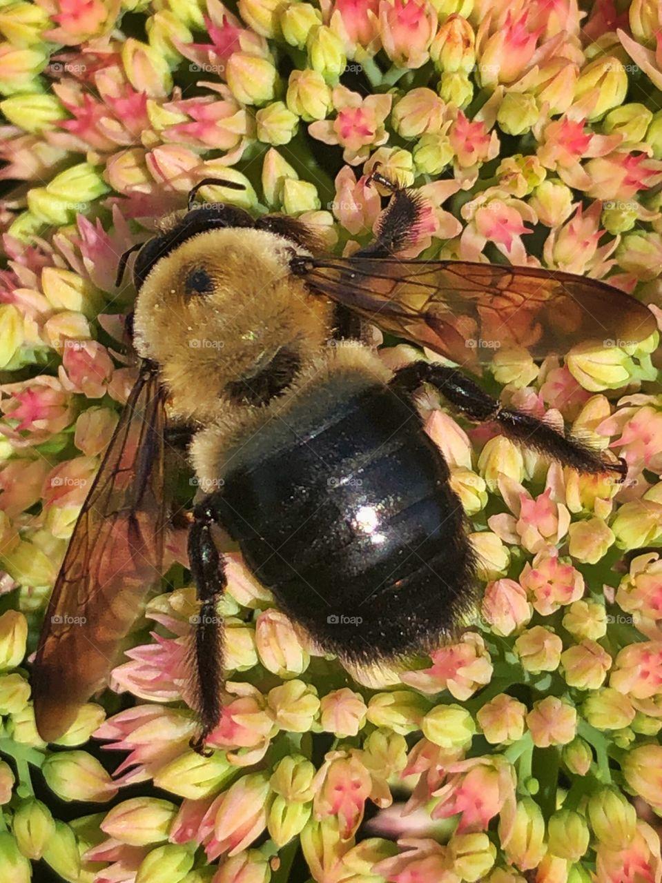 Bumblebee closeup on flowers