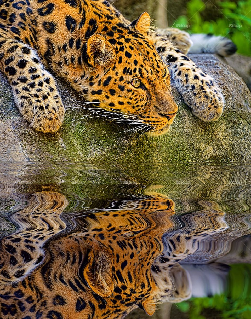 Portrait of a beautiful Amur Leopard relaxing on a rock and reflecting on his own good looks. What a tragedy that this creature is now critically endangered thanks to mankind. Shame on us.