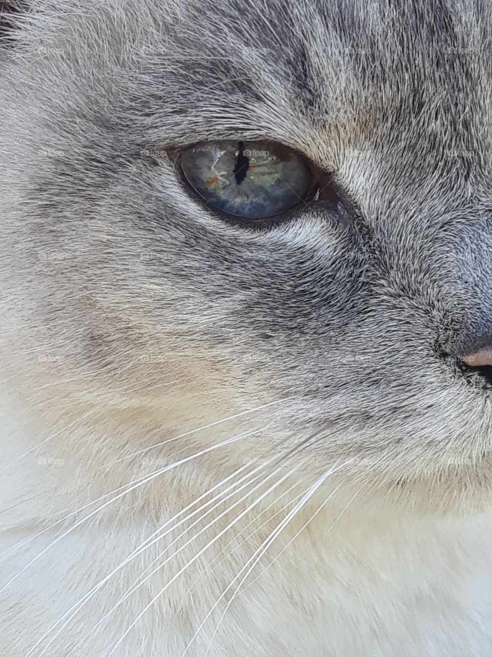 Siamese Tabby Cat Close Up Blue Eye