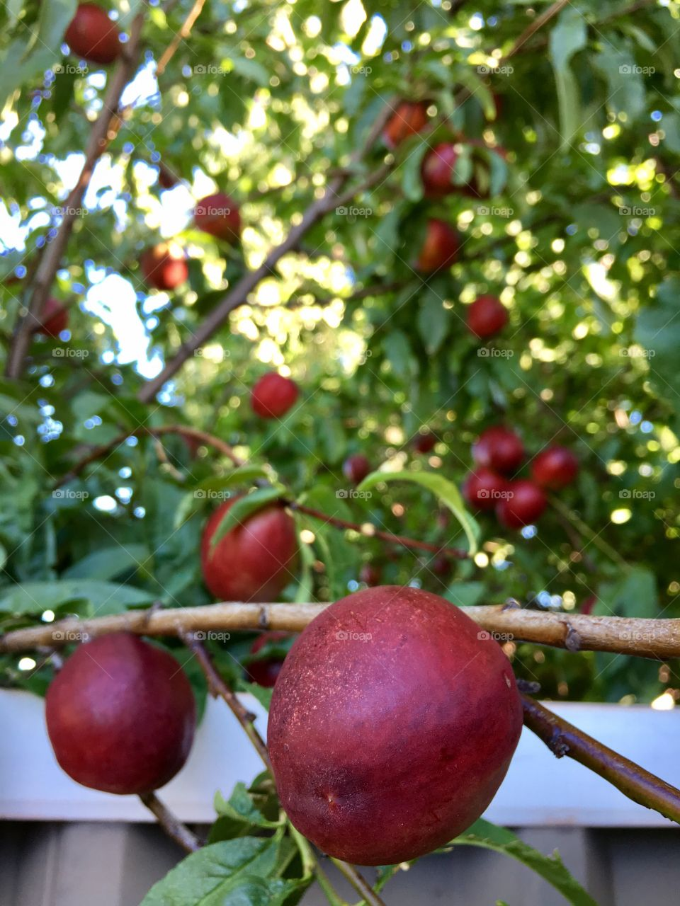 Closeup ripe red nectarines on branch of tree