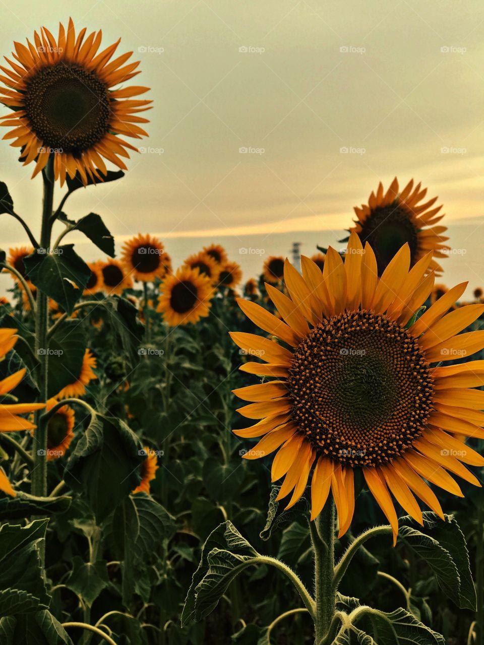 Sunflowers ..