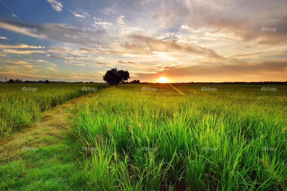 Sunset over green paddy field