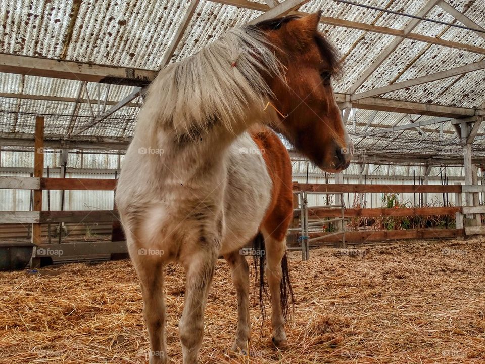 Pony In Stables