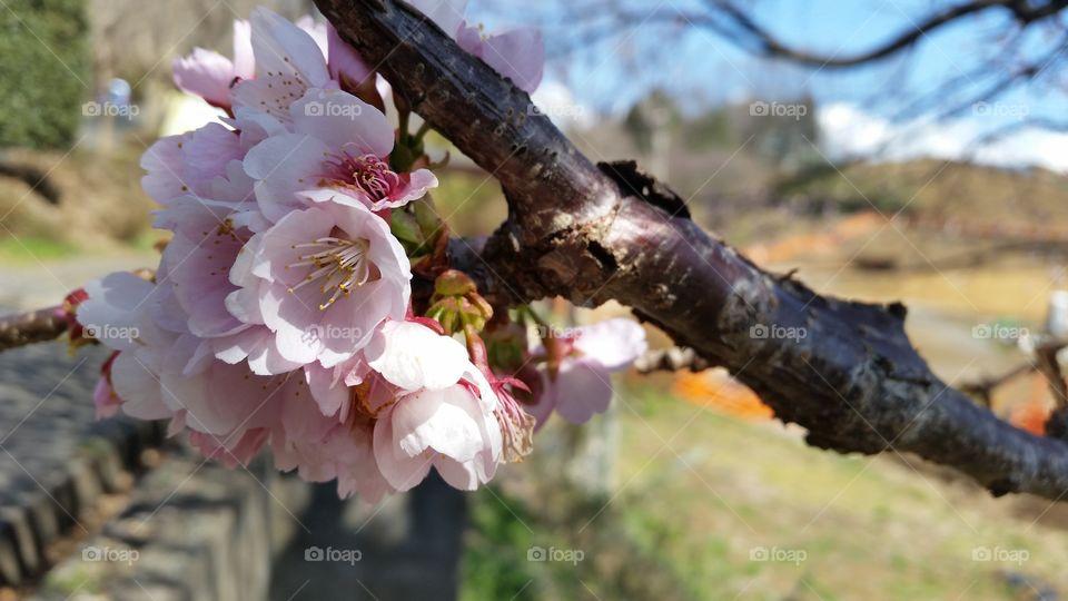 Cherry blossome