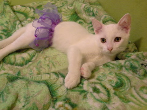 Dress up with Puff the cat!. Puff the cat having fun during a photo shoot wearing his favorite purple tutu. He loves the bells that jingle!