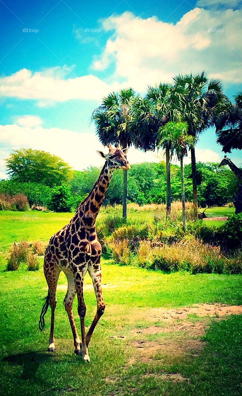 Kilimanjaro Safari in Animal Kingdom