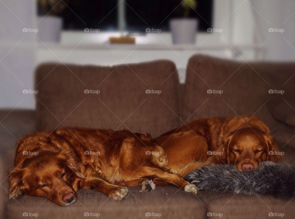 Tired dogs