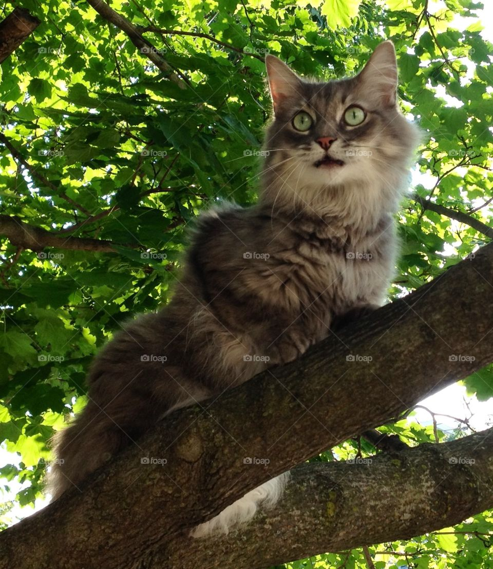 Cat in a tree. Main coon cat in a tree