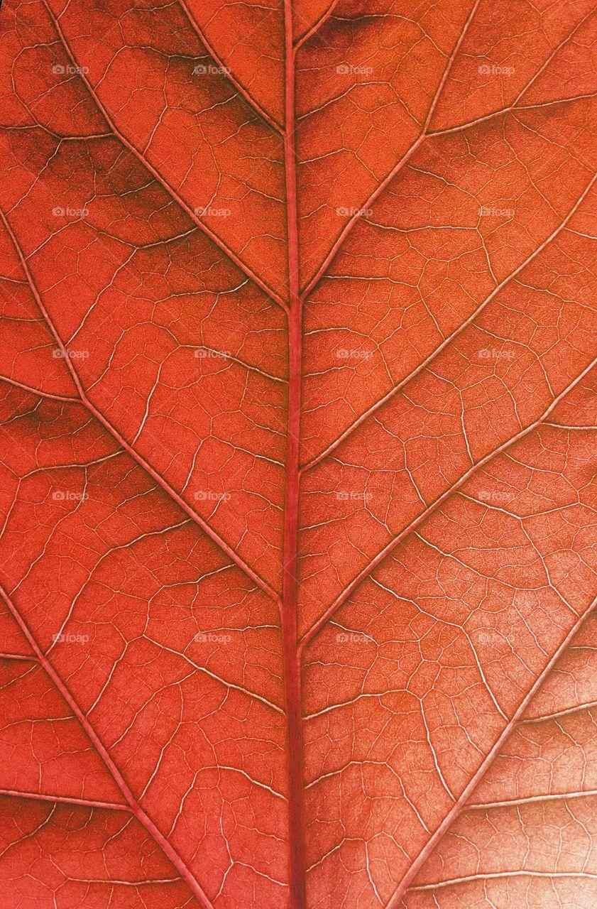 Red leaf in macro