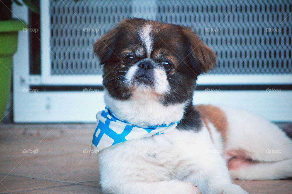 Portrait of a pekingese dog with neckerchief