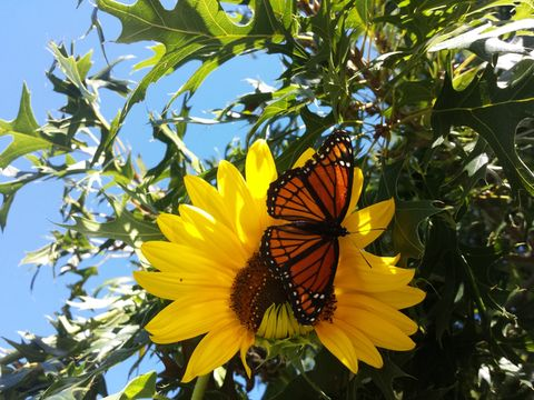 Butterfly pollinating on sunflower