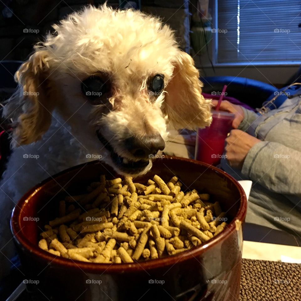 Dog Poodle Eating Dry Food From Table