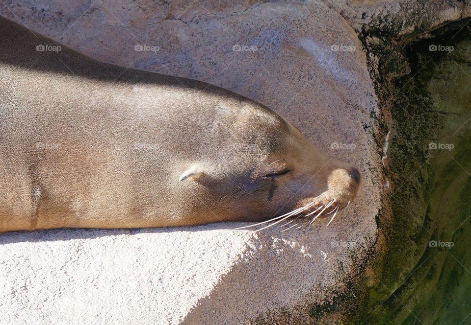 Snoozing sunning seal