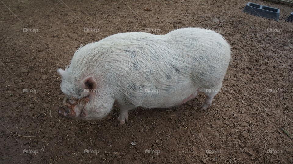 Big pig we saw at grapeland drivethru safari in Texas